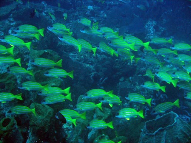 Diving around Togian islands, Una Una, Apollo dive ssite.pot. Sulawesi,  Indonesia.