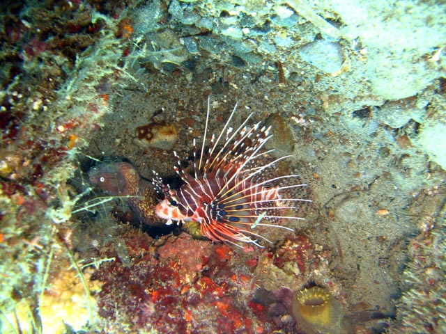 Lionfish. Diving around Togian islands, Una Una, Apollo dive site. Sulawesi,  Indonesia.