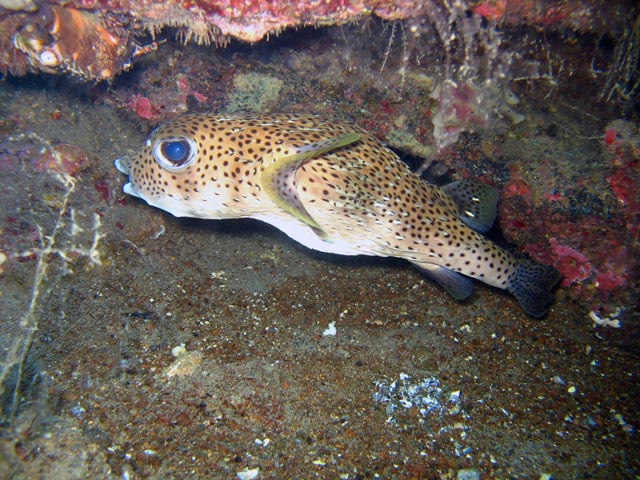 Spotted porcupinefish. Diving around Togian islands, Una Una, Apollo dive site. Sulawesi,  Indonesia.
