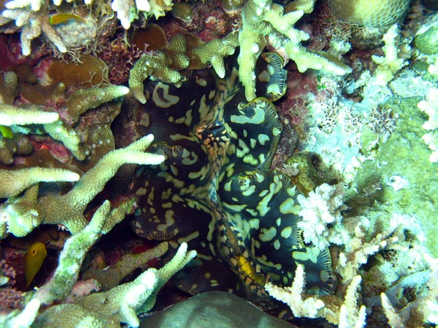 Giant Clam, Diving around Togian islands, Kadidiri, Dominic Rock dive site. Sulawesi,  Indonesia.