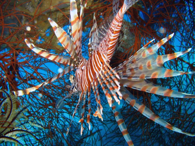 Lionfish. Diving around Biak islands, Catalina wreck dive site. Papua,  Indonesia.