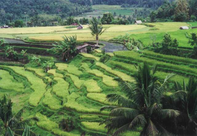 Rice fields near Bukittinggi town. Sumatra,  Indonesia.