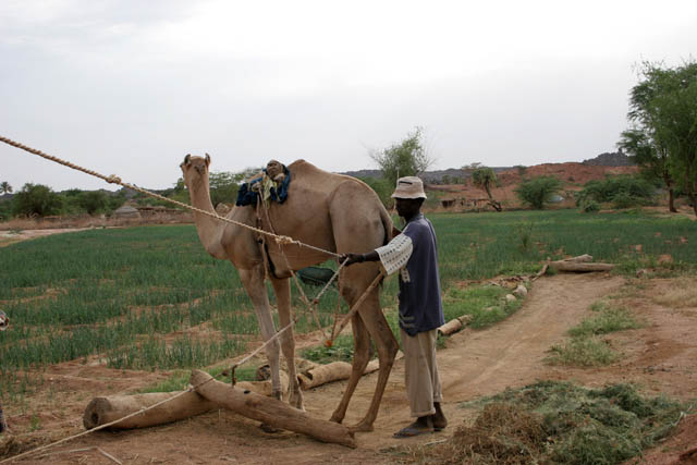 Camel is pumping water from well. Sahara desert. Niger.
