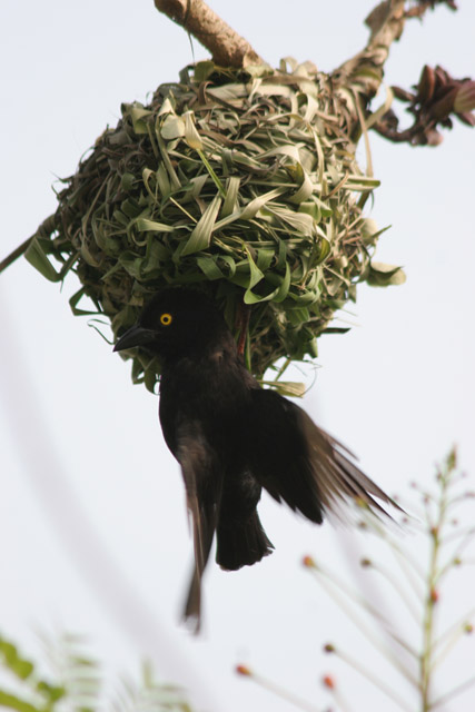 Weaver-bird is making his nest. Korup National Park. Cameroon.
