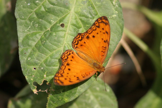 Butterfly, Korup National Park. Cameroon.
