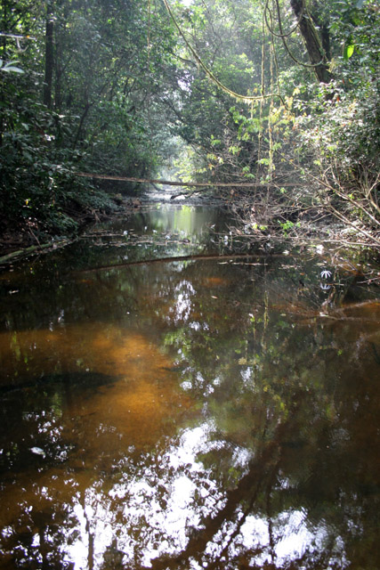 The Korup National Park is in western Cameroon against the Nigerian border. It has 1259 sq km of tropical rainforest known for its high biological diversity, including more than 50 species of large mammals. Cameroon.