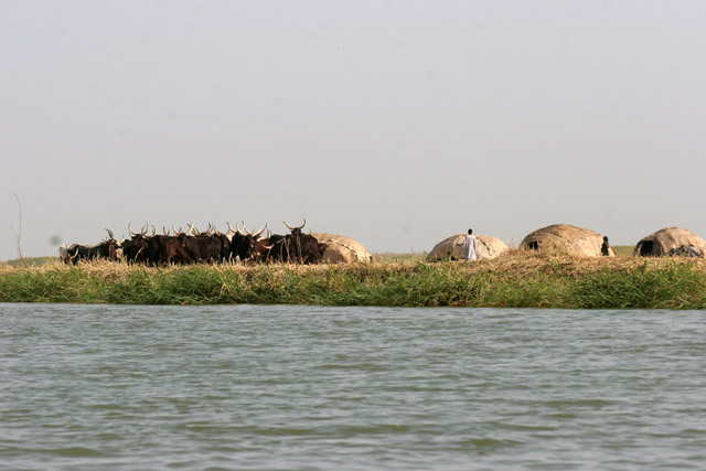 Drove and tents of nomad Bororo people. Lake Chad area. Cameroon.