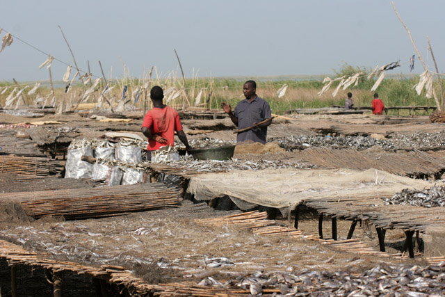 Fish drying. Most of the fishes are sold to the neighboring Nigeria. Kofia village at Lake Chad. Cameroon.