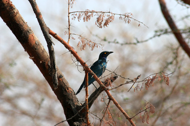 Glosy starling, Waza National Park. Cameroon.