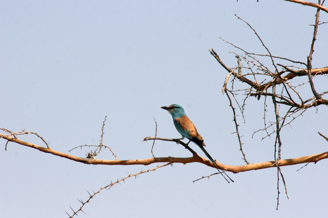 Lilac-breasted Roller, Waza National Park. Cameroon.
