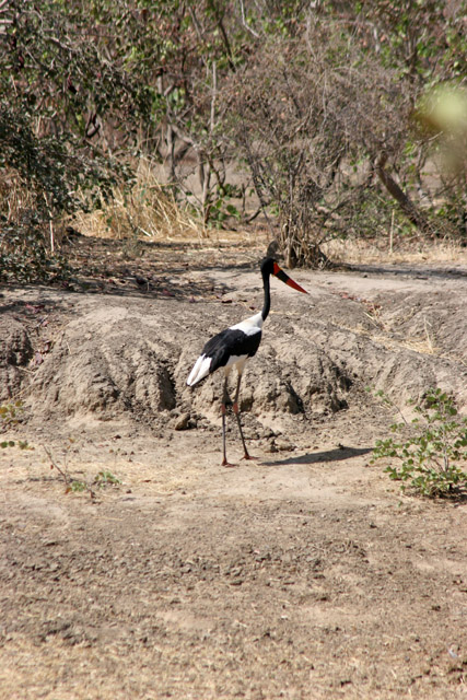 Saddle-billed stork, Waza National Park. Cameroon.