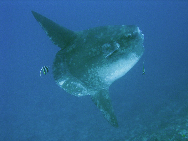 Ocean Sunfish (Mola Mola) at Crystal Bay dive site near Nusa Penida island. Bali,  Indonesia.