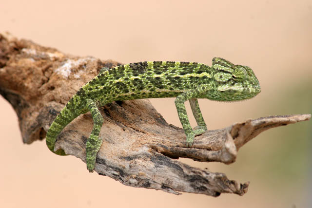 Even at Sahara desert there is a life - small chameleon. Niger.