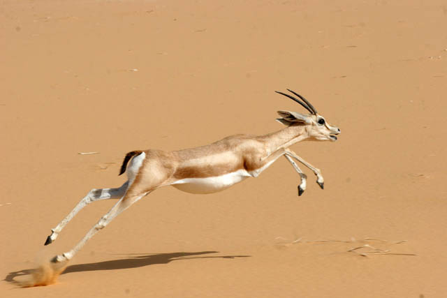 Even at Sahara desert there is a life - wonderful gazelle. Niger.