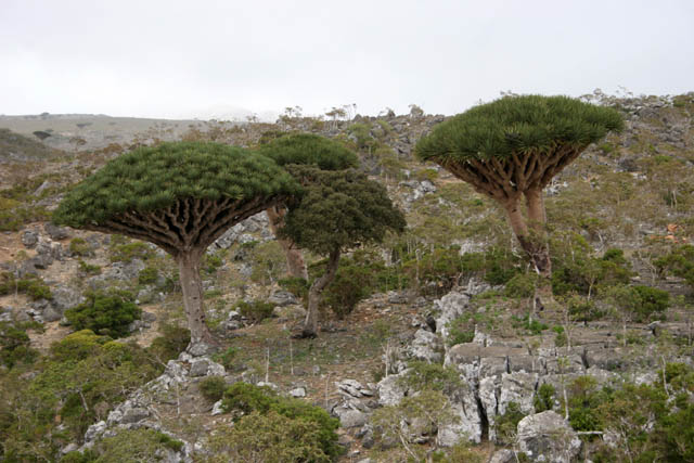 Endemic trees Dragon's blood (Dracaena cinnabari) at Dixam Plateau. Socotra (Suqutra) island. Yemen.
