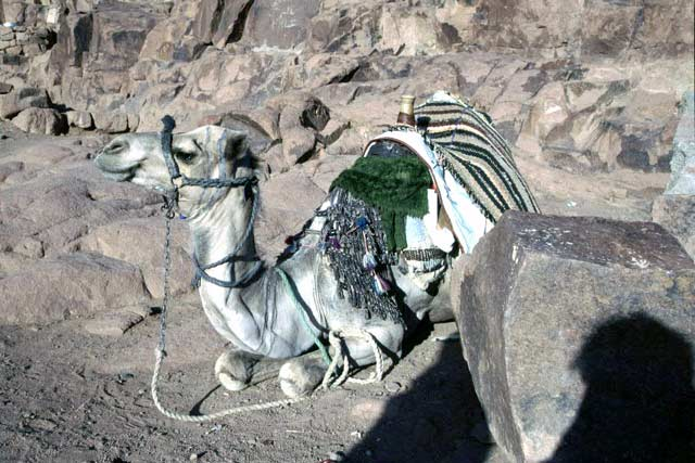 Camel in Sinai mountains. Egypt.