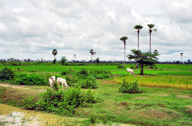 Ricefields around Phnom Penh. Cambodia.