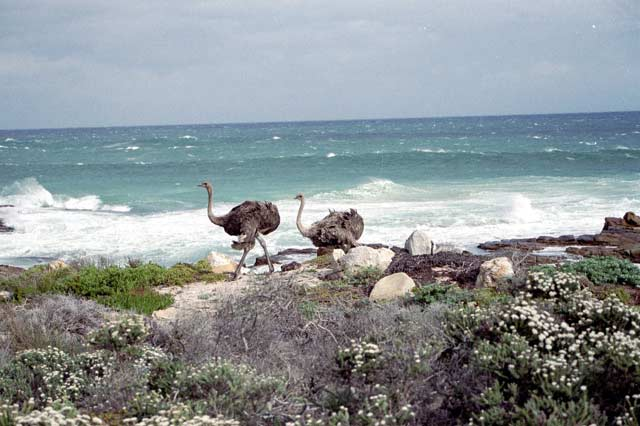 wild ostriches at Cape of Good Hope. South Africa.