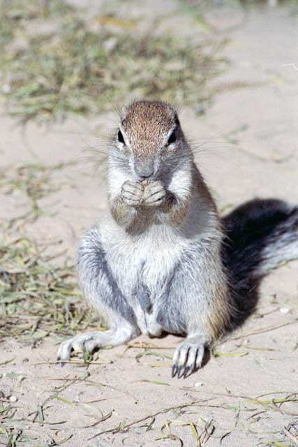 Cape ground squirrel, Kalahari Gemsbok National Park. South Africa.