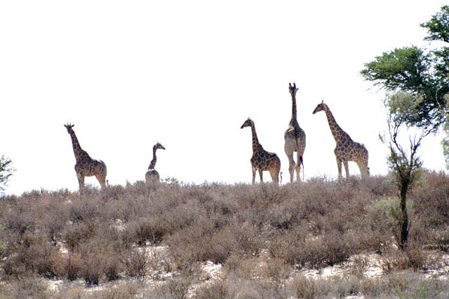Giraffes, Kalahari Gemsbok National Park. South Africa.