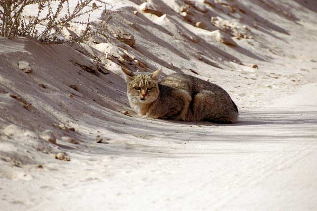 African wild cat, Kalahari Gemsbok National Park. South Africa.