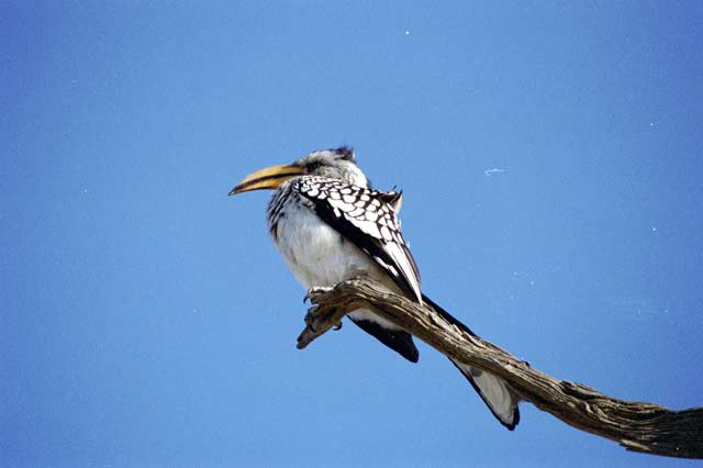 Yellow-billed hornbill, Kalahari Gemsbok National Park. South Africa.