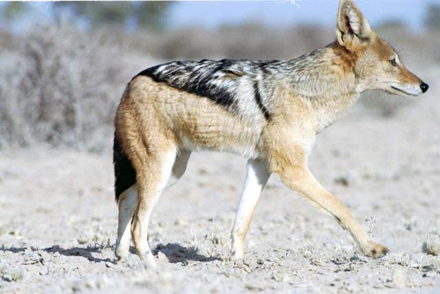 Black-backed jackal, Kalahari Gemsbok National Park. South Africa.