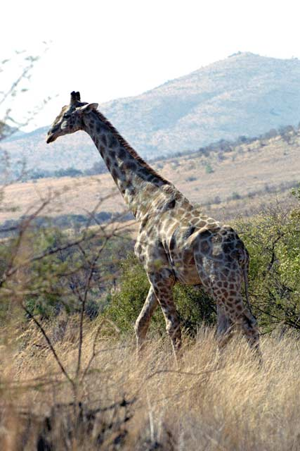 Giraffe, Pilansberg National Park. South Africa.