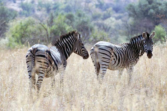 Zebras, Pilansberg National Park. South Africa.