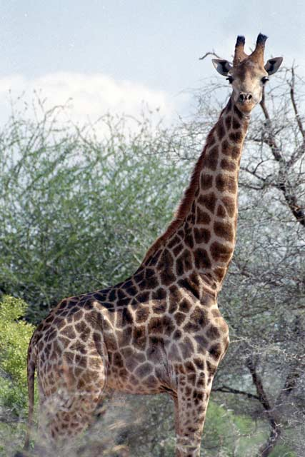 Giraffe, Kruger National Park. South Africa.
