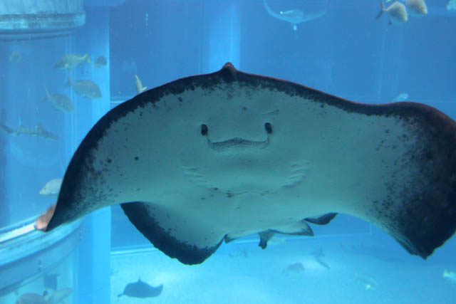 Ray. Aquarium at Osaka. Japan.