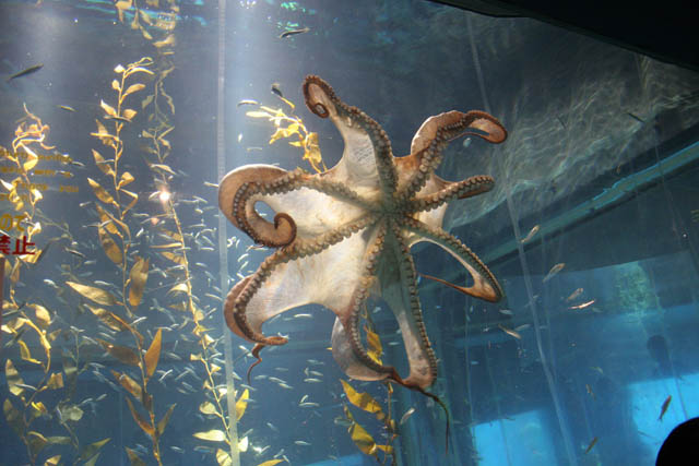 Octopus. Aquarium at Osaka. Japan.