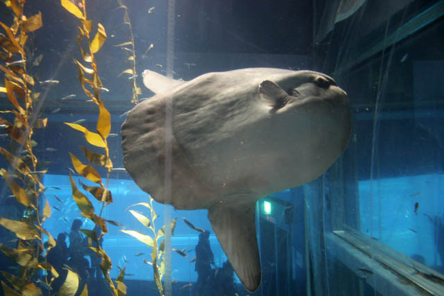 Ocean Sunfish (Mola Mola). Aquarium at Osaka. Japan.