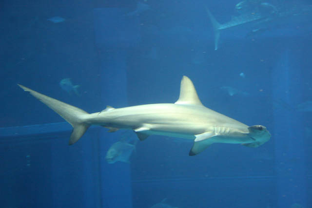 Hammerhead shark. Aquarium at Osaka. Japan.