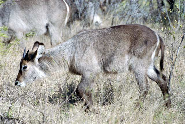 Waterbuck, Kruger National Park. South Africa.
