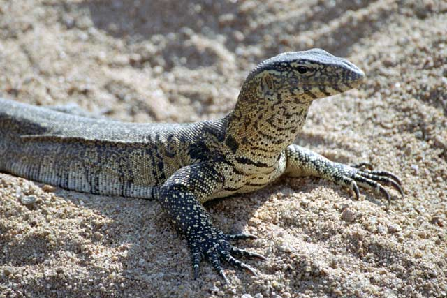 Lizard, Kruger National Park. South Africa.