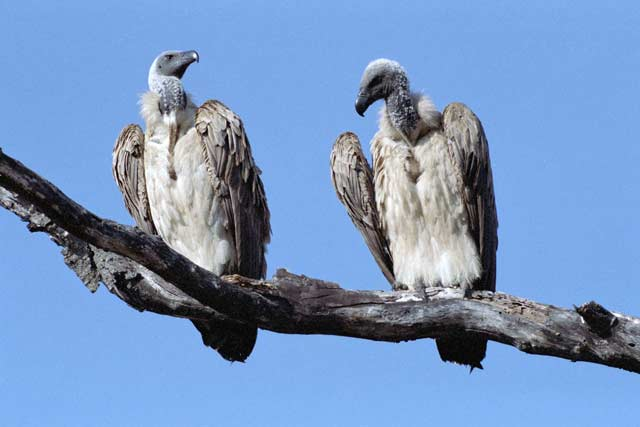 White backed vultures, Kruger National Park. South Africa.