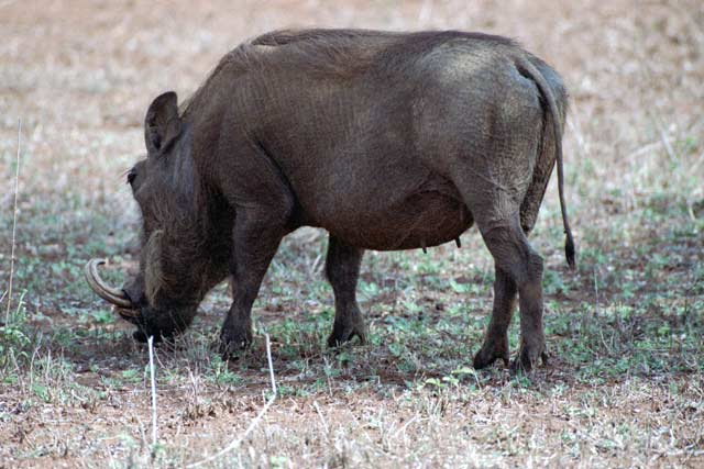 Warthog, Kruger National Park. South Africa.