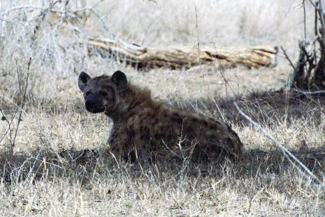 Spotted hyaena, Kruger National Park. South Africa.