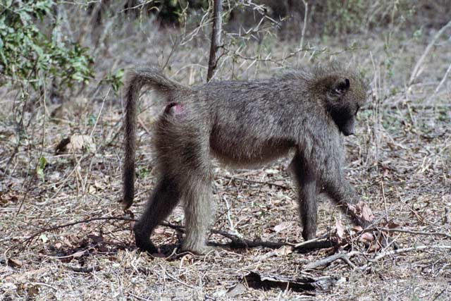 Baboon, Kruger National Park. South Africa.