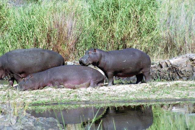 Hippos, Kruger National Park. South Africa.