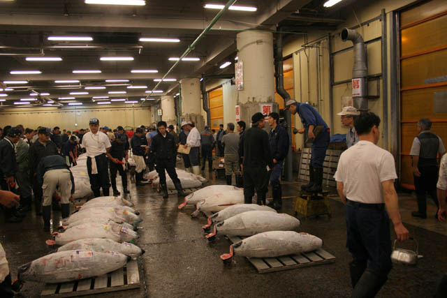 Morning tuna auction - action is coming. Tsukiji fish market, Tokyo. Japan.