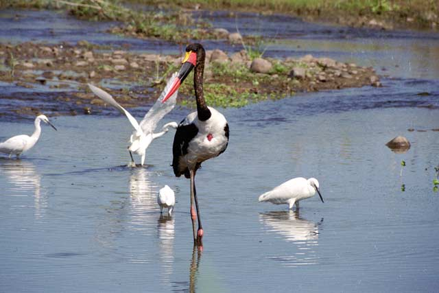 Saddle-billed stork, Kruger National Park. South Africa.