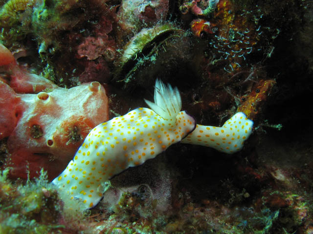 Nudibranch - Chromodorididae. Richelieu Rock dive site. Thailand.