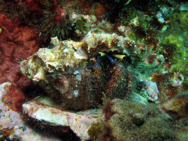 Crab. Richelieu Rock dive site. Thailand.