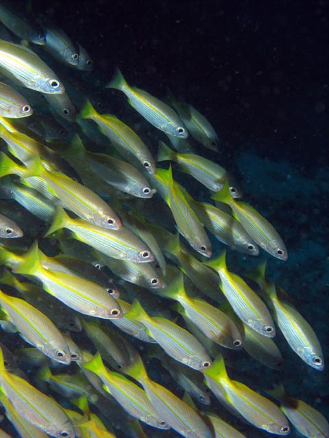 School of fishes - probably Yellow-band Fusilier. Richelieu Rock dive site. Thailand.