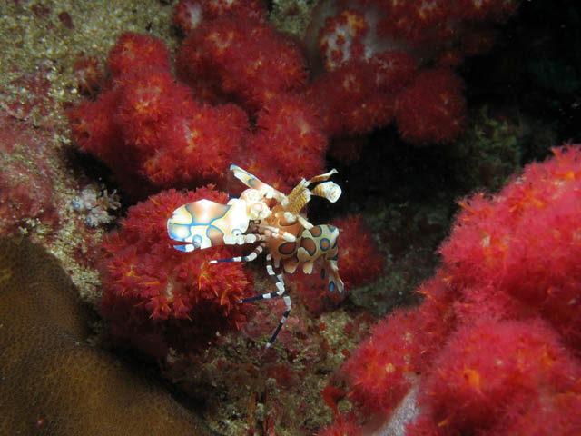 Harlequin Shrimp. Richelieu Rock dive site. Thailand.