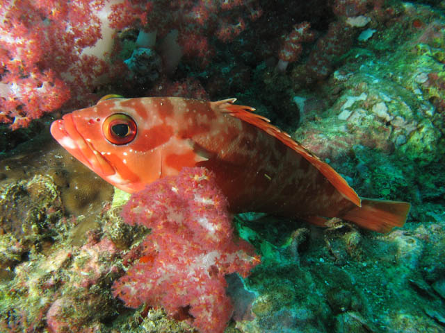 Grouper. Richelieu Rock dive site. Thailand.