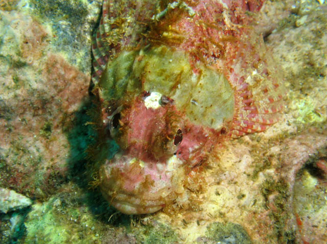 Head of Smallscale Scorpionfish. Richelieu Rock dive site. Thailand.
