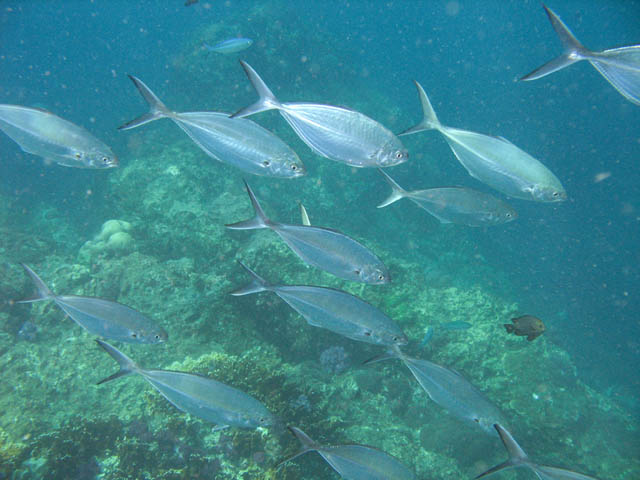 School of Trevally. Richelieu Rock dive site. Thailand.